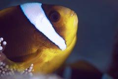 anemonefish Ερυθρά Θάλασσα Στοκ Φωτογραφίες