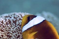 anemonefish Ερυθρά Θάλασσα Στοκ Εικόνα