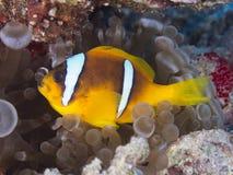 anemonefish Ερυθρά Θάλασσα Στοκ φωτογραφίες με δικαίωμα ελεύθερης χρήσης