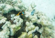 Anemonefish και τρεις-ριγωτό Damselfish Στοκ Εικόνα