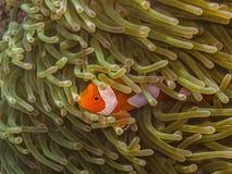 anemonefish κινηματογράφηση σε πρώτο πλάνο Στοκ Εικόνα