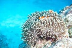 anemonefish κλόουν ψεύτικος Στοκ Φωτογραφίες