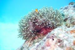 anemonefish κλόουν ψεύτικος Στοκ Εικόνα