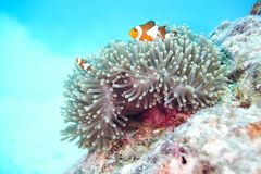 anemonefish κλόουν ψεύτικος Στοκ εικόνες με δικαίωμα ελεύθερης χρήσης