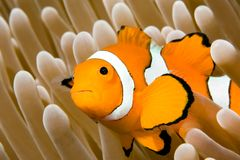 anemonefish κλόουν Στοκ Φωτογραφίες