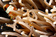 anemonefish κλόουν Στοκ Εικόνες