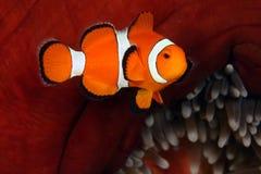 anemonefish κλόουν Στοκ εικόνες με δικαίωμα ελεύθερης χρήσης