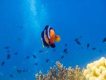anemonefish κοιτάζοντας Στοκ Φωτογραφία