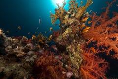 anemonefish κόκκινη θάλασσα σκοπέλων τροπική Στοκ Φωτογραφία