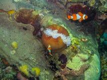 anemonefish με το στρογγυλό anemone Στοκ φωτογραφία με δικαίωμα ελεύθερης χρήσης