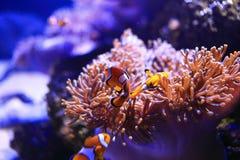 Anemonefish με το anemone θάλασσας Στοκ φωτογραφία με δικαίωμα ελεύθερης χρήσης