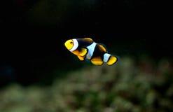 anemonefish μικρός Στοκ φωτογραφία με δικαίωμα ελεύθερης χρήσης