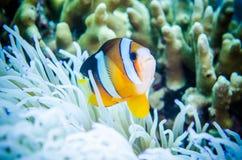 Anemonefish που κολυμπά σε Bunaken, ο Βορράς Sulawesi, Ινδονησία Στοκ Εικόνες