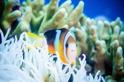 Anemonefish που κολυμπά σε Bunaken, ο Βορράς Sulawesi, Ινδονησία Στοκ εικόνες με δικαίωμα ελεύθερης χρήσης