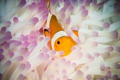 Anemonefish που κολυμπά σε Bunaken Στοκ Εικόνα