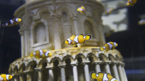 Anemonefish που κολυμπά στο ενυδρείο Στοκ εικόνες με δικαίωμα ελεύθερης χρήσης