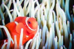 Anemonefish που κολυμπά το υποβρύχιο biaculeatus premnas Bunaken Sulawesi Ινδονησία Στοκ Εικόνα