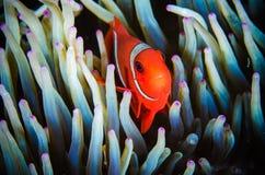 Anemonefish που κολυμπά το υποβρύχιο biaculeatus premnas Bunaken Sulawesi Ινδονησία Στοκ φωτογραφίες με δικαίωμα ελεύθερης χρήσης