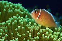 anemonefish ροζ Στοκ φωτογραφία με δικαίωμα ελεύθερης χρήσης