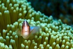 anemonefish ροζ Στοκ εικόνες με δικαίωμα ελεύθερης χρήσης
