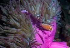 anemonefish ροζ Στοκ Φωτογραφία