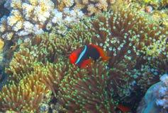 Anemonefish στο ακτηνία από την κοραλλιογενή ύφαλο Τροπική υποβρύχια φωτογραφία κατοίκων ακτών Στοκ Φωτογραφίες