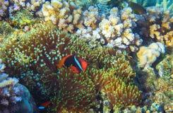 Anemonefish στο ακτηνία Τροπική ζωική υποβρύχια φωτογραφία ακτών Ζώο κοραλλιογενών υφάλων Στοκ Φωτογραφίες