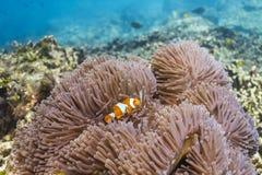 Anemonefish στο εθνικό πάρκο Similan Στοκ Εικόνες