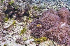Anemonefish στο εθνικό πάρκο Similan Στοκ Φωτογραφίες