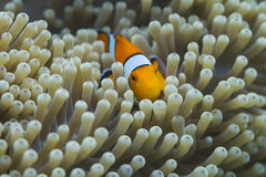 Anemonefish στο εθνικό πάρκο Surin Στοκ εικόνα με δικαίωμα ελεύθερης χρήσης