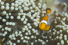 Anemonefish στο εθνικό πάρκο Surin Στοκ εικόνες με δικαίωμα ελεύθερης χρήσης