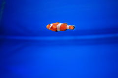Anemonefish στο μπλε υπόβαθρο Στοκ Εικόνες