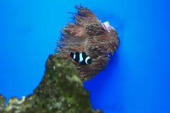 Anemonefish στο μπλε υπόβαθρο Στοκ φωτογραφία με δικαίωμα ελεύθερης χρήσης
