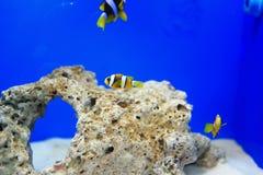 Anemonefish στο μπλε υπόβαθρο Στοκ φωτογραφίες με δικαίωμα ελεύθερης χρήσης