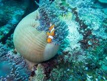 Anemonefish στο σπίτι anemone Στοκ εικόνες με δικαίωμα ελεύθερης χρήσης