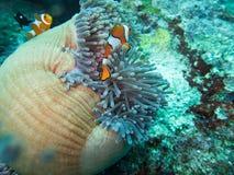 Anemonefish στο σπίτι anemone Στοκ Εικόνα