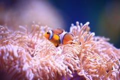 Anemonefish στο υπόβαθρο anemone θάλασσας Στοκ Εικόνες