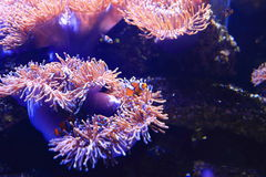 Anemonefish στο υπόβαθρο anemone θάλασσας Στοκ Φωτογραφίες
