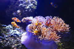 Anemonefish στο υπόβαθρο anemone θάλασσας Στοκ εικόνες με δικαίωμα ελεύθερης χρήσης