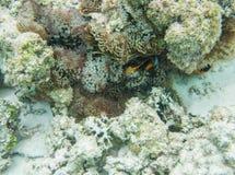 Anemonefish στο φυσικό βιότοπο Στοκ εικόνες με δικαίωμα ελεύθερης χρήσης
