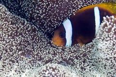 Anemonefish στο anemone ενός Haddon Στοκ Εικόνες