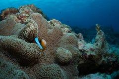 Anemonefish στο anemone οικοδεσποτών του Στοκ εικόνα με δικαίωμα ελεύθερης χρήσης