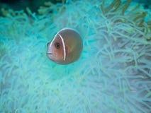 Anemonefish στο anemone Στοκ Φωτογραφίες