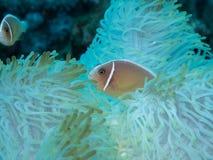 Anemonefish στο anemone Στοκ Εικόνες
