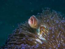 Anemonefish στο anemone Στοκ Φωτογραφία