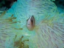 Anemonefish στο anemone Στοκ εικόνες με δικαίωμα ελεύθερης χρήσης