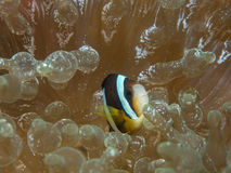 Anemonefish στο anemone Στοκ φωτογραφία με δικαίωμα ελεύθερης χρήσης