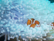 Anemonefish στο anemone Στοκ Εικόνα