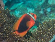 Anemonefish στο anemone Στοκ φωτογραφίες με δικαίωμα ελεύθερης χρήσης