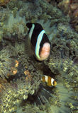 Anemonefish του Clark, νησί Perhentian, Terengganu Στοκ φωτογραφίες με δικαίωμα ελεύθερης χρήσης